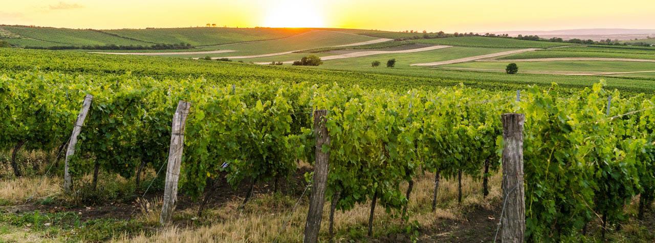 Weingaerten Mittelburgenland